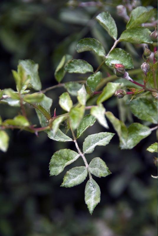 Maladie des rosiers o dium marsonia pourriture d crypt es jardipartage - Feuilles de rosier qui jaunissent ...
