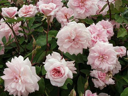 Cecile Brunner Polyantha Rose Cecile Brunner Rose