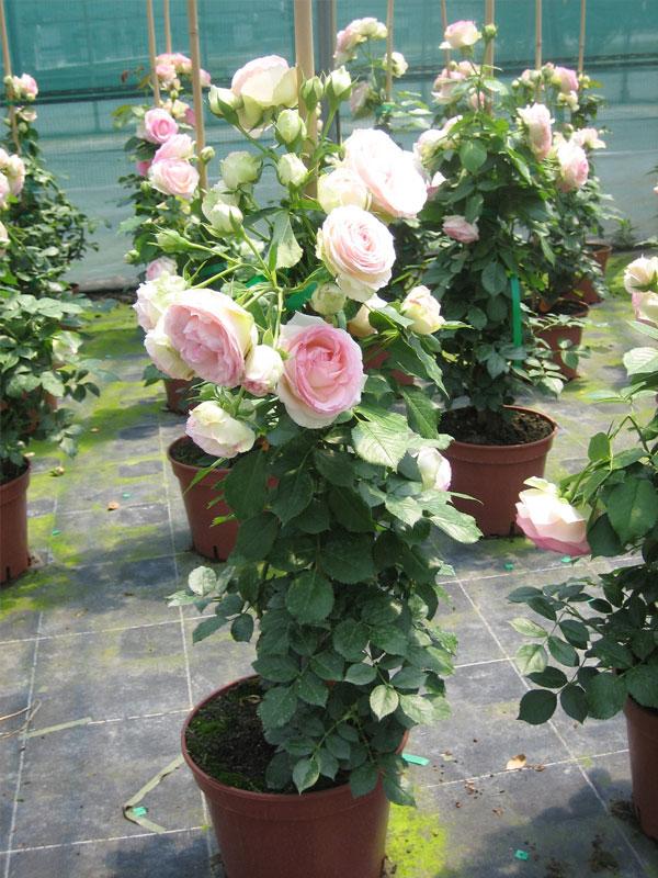 soci t fran aise des roses les diff rents conditionnements du rosier racines nues pochette. Black Bedroom Furniture Sets. Home Design Ideas