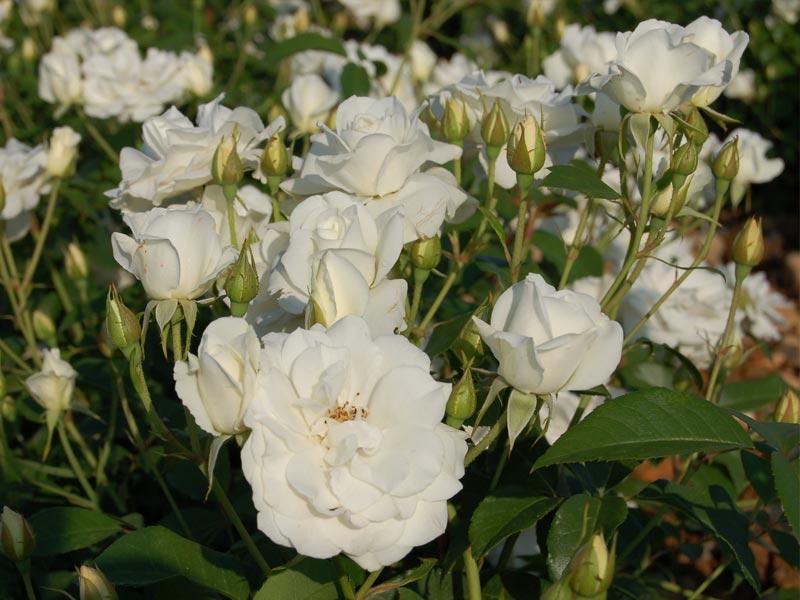soci t fran aise des roses la classification des roses et rosiers est une t che d licate. Black Bedroom Furniture Sets. Home Design Ideas