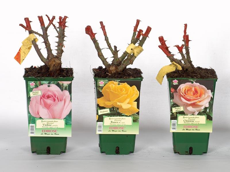 Rosiers qui deviennent sauvages jardizone for Comment arroser un rosier en pot