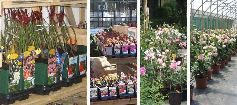 Soci t fran aise des roses p pini riste rosi riste Jardinerie par correspondance