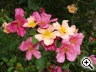 rosier sauvage Rosa chinensis mutabilis