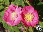 rosier sauvage Rosa gallica