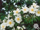 rosier sauvage Rosa pimpinellifolia grandiflora
