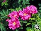 rosier sauvage Rosa rugosa rubra